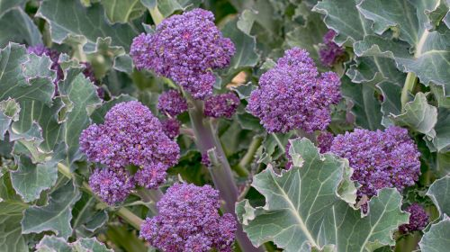 Pick Up Some Purple Sprouting Broccoli